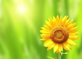 helder gele zonnebloem op groene achtergrond foto