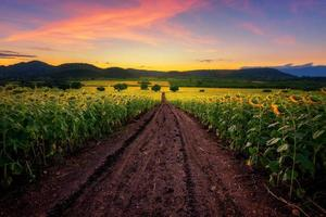 zonnebloem veld met bij zonsopgang foto