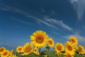 zonnebloem veld