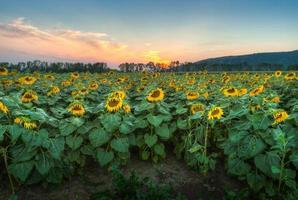 zonnebloem veld bij zonsondergang