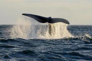 zuidelijke rechtse walvis foto