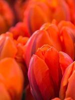 close-up van oranje tulpen foto