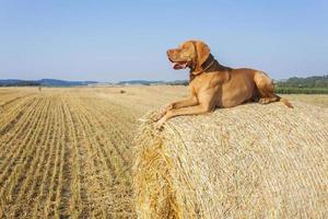 jachthond in het rijpende graan. hete zomerdag. foto