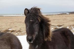 portret van een zwart IJslands paard