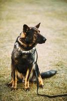 zwarte Duitse herdershond zittend op de grond foto