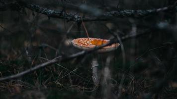 oranje en witte paddestoel in het bos