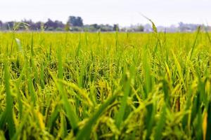 rijstveld in de vroege ochtend