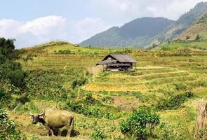 bull azië dorp landbouw rijstveld foto