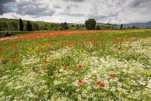 papavers en wilde bloemen in Toscane