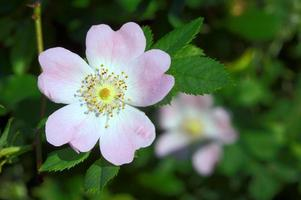 bloem roos gegolfd foto