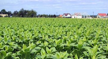 tabaksteelt op een veld in polen