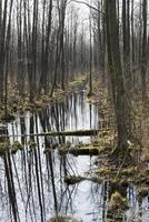 vroege lente in het moeras.