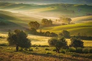 Toscaanse olijfbomen gebied van siena, italië
