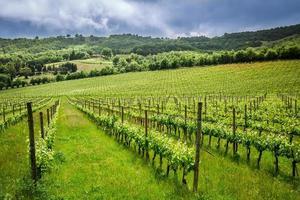 velden met druiven in de zomer, Italië foto
