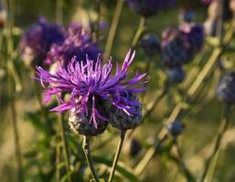 wilde bloemen bloeien in een veld