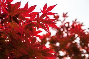 roze bladeren van de japanse esdoorn (acer palmatum)