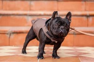 Franse bulldog foto
