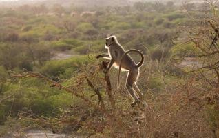 zwart onder ogen gezien Indische aap