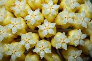 gele hoya-bloem