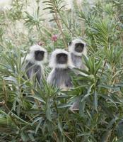 apen met een zwart gezicht