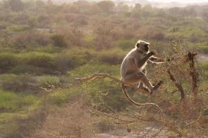 Indische aap die een boom beklimt