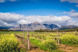 winter wijngaard met canola en bergen