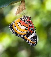 luipaard lacewing vlinder komt uit de pop