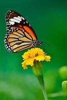monarchvlinder op gele bloem