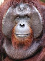 Borneose orang-oetan foto