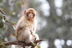la scimmia del marocco macaca sylvanus foto