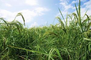 oren van rijst in velden