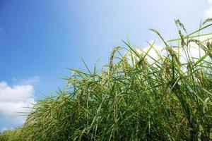 oren van rijst met blauwe hemel