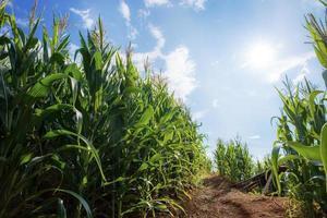 plantage van maïs bij ochtendzon