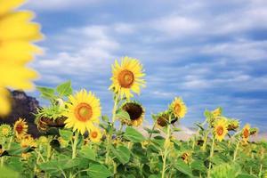 zonnebloemen met blauwe hemel foto