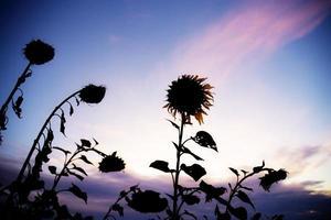silhouet van zonnebloemen foto