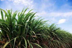 suikerriet met blauwe lucht