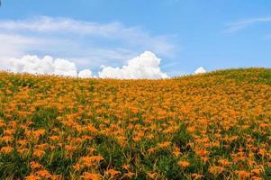heuvel van daglelie bloemen