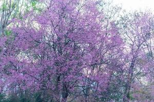 prunus cerasoides bloeit aan de boom