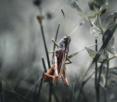 close-up van een sprinkhaan