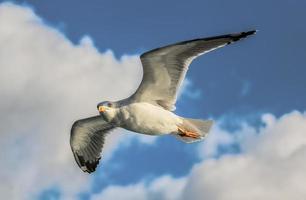 close-up foto van vliegende zeemeeuw
