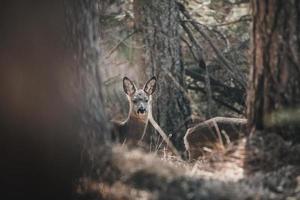 herten tussen bomen