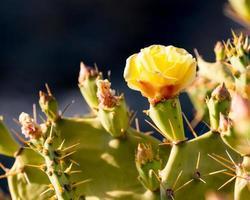 gele cactusbloem foto