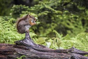 eekhoorn op een logboek foto