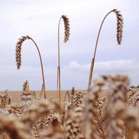 close-up van een veld van tarwe