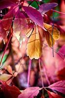 roodachtige herfstbladeren foto