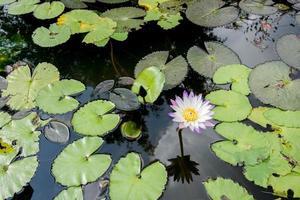 lotusbloem in het zwembad