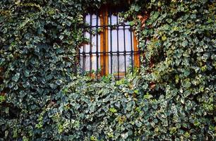 gesloten ijzeren raam met klimopplanten
