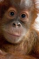 close-up op een baby sumatraanse orang-oetan foto