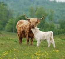 koe en kalf foto