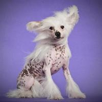 chinese crested dog, 9 maanden oud, zittend foto
